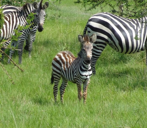Lake Mburo National Park - Zebra